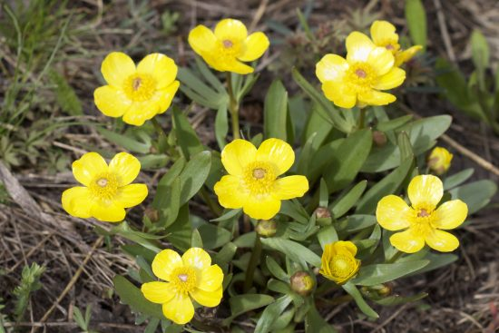 5 petaled yellow