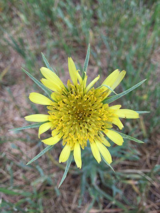 Yellow Large Dandelion flower
