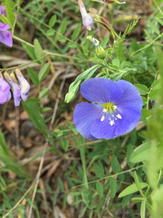 small blue flower long stem