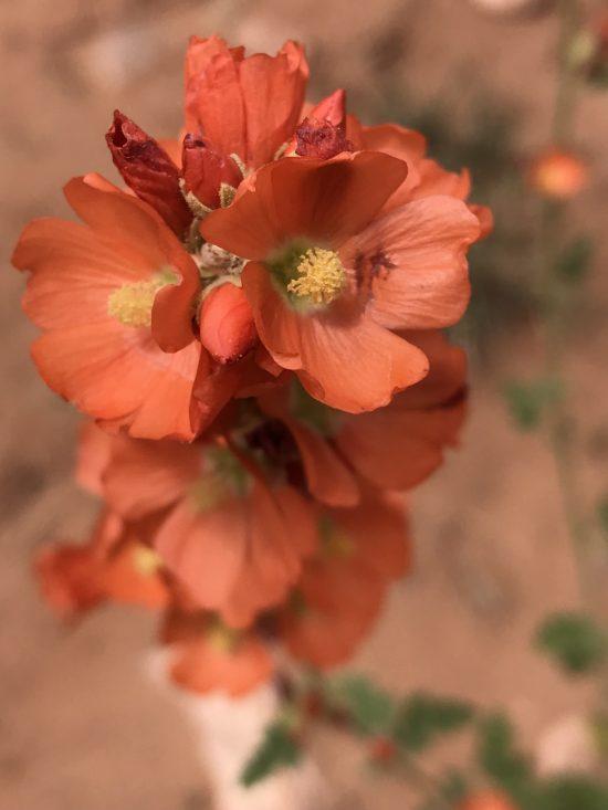 bright orange desert flower