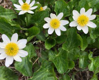 Mountain Marsh Marigold