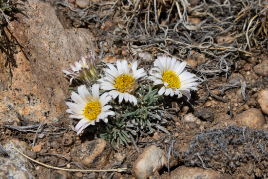 spring blooming daisy