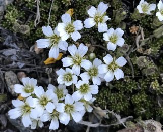 alpine bed of white flowers