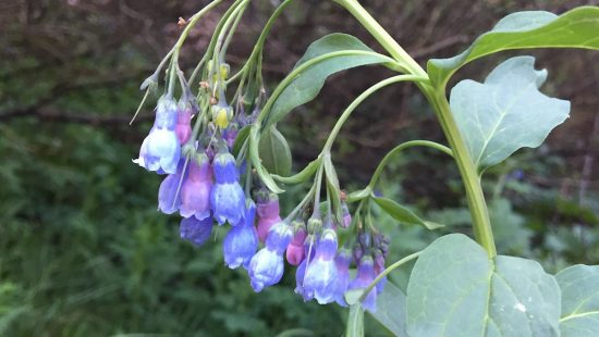 Blue pink bell shaped flower