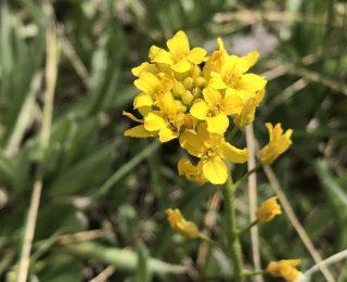Golden Draba