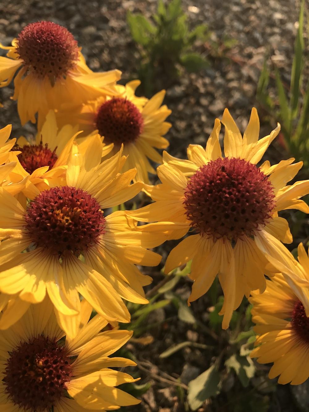 Blanketflower Gaillardia Aristata Colorado Wildflower
