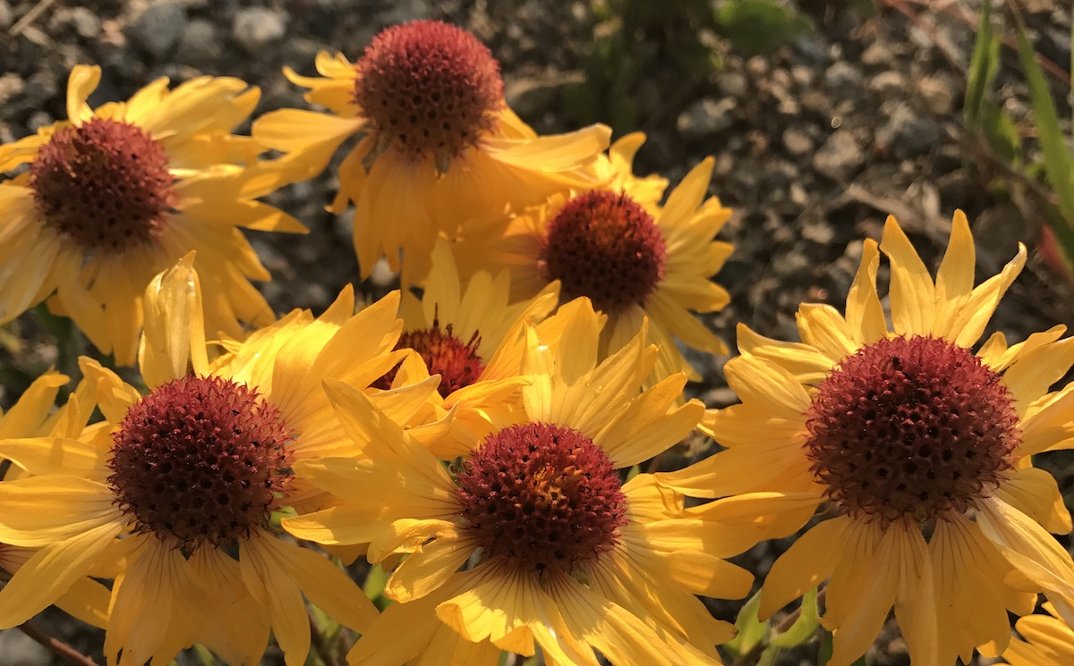 Blanketflower Gaillardia Aristata Colorado Wildflower