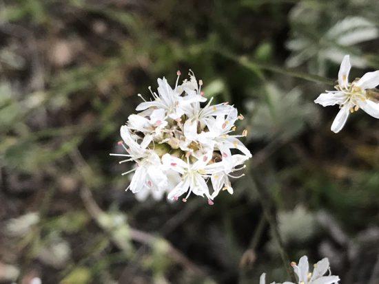 cluster of white sandwort