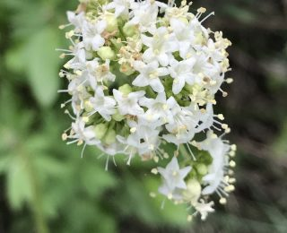 small white flower cluster