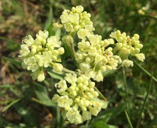 Common white yellow or pink buckwheat