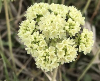 Umbrella Desert Buckwheat Flowers