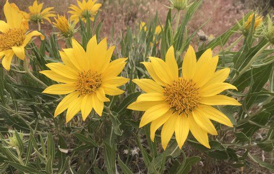 Desert Sunflower