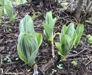Early False Hellebore