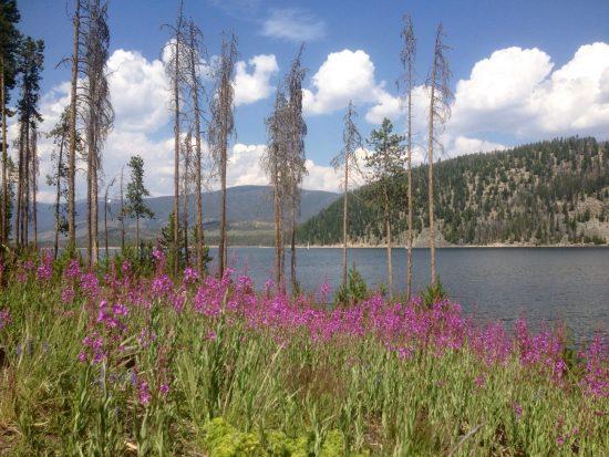 Pink Wildflower Fireweed