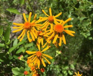 Orange Sneezeweed