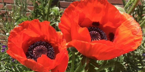 Large Orange Poppy
