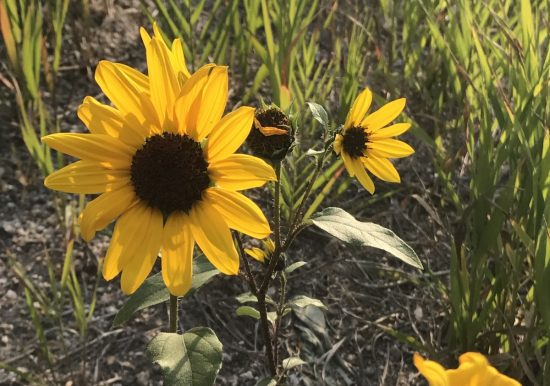 Large Yellow flower on roadsides