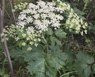 Large white umbel