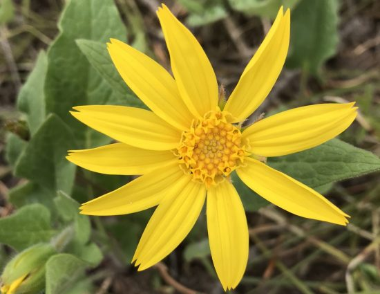 large yellow flower with notched petals