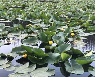 pond of lilypad