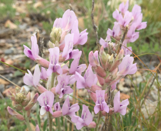 Rocky Mountain Locoweed