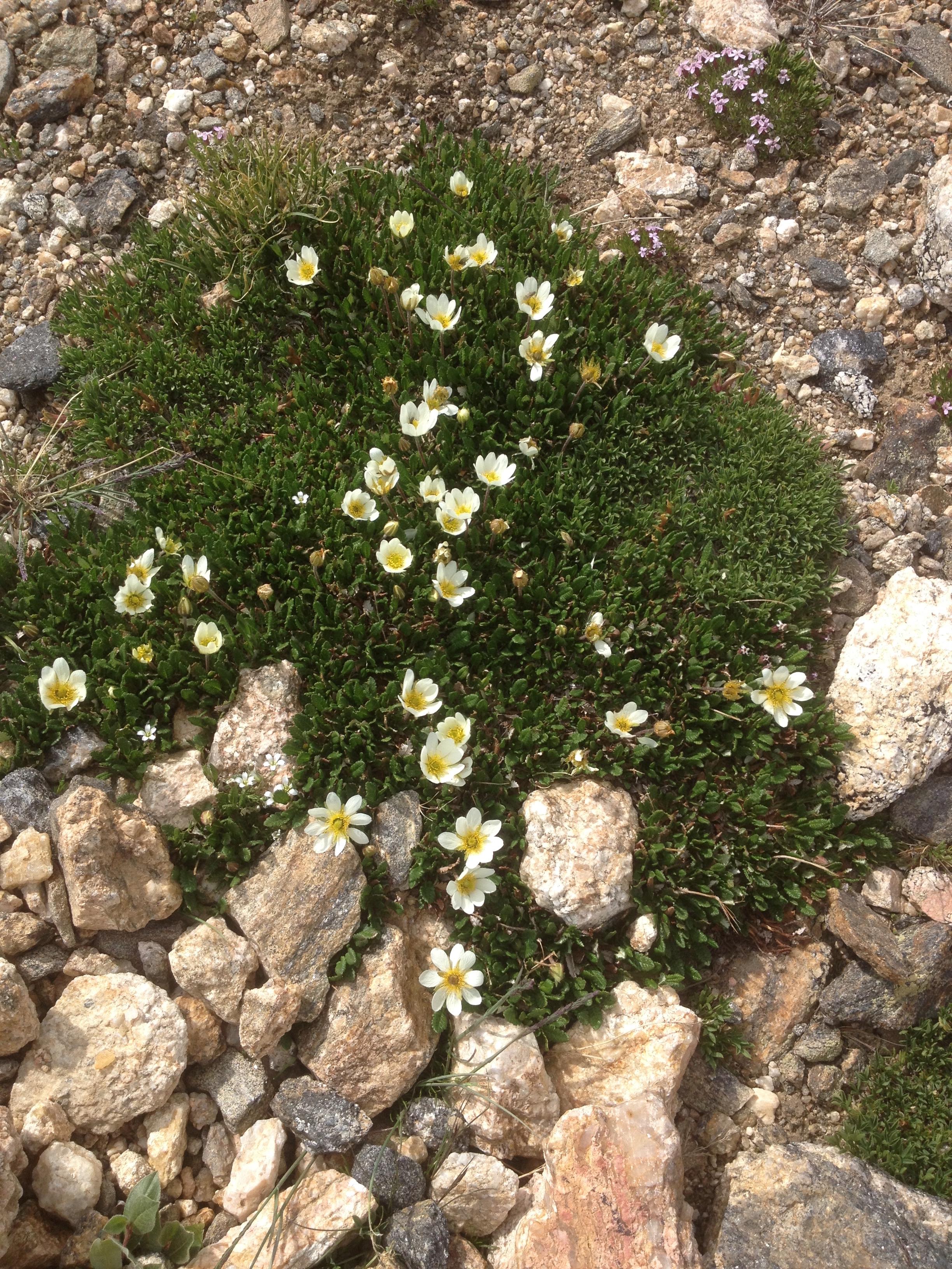 White Mountain Avens Dryas Octopetala Colorado Wildflower