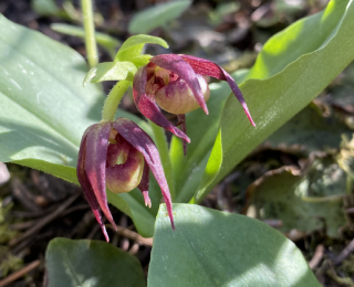 Clustered Lady Slipper