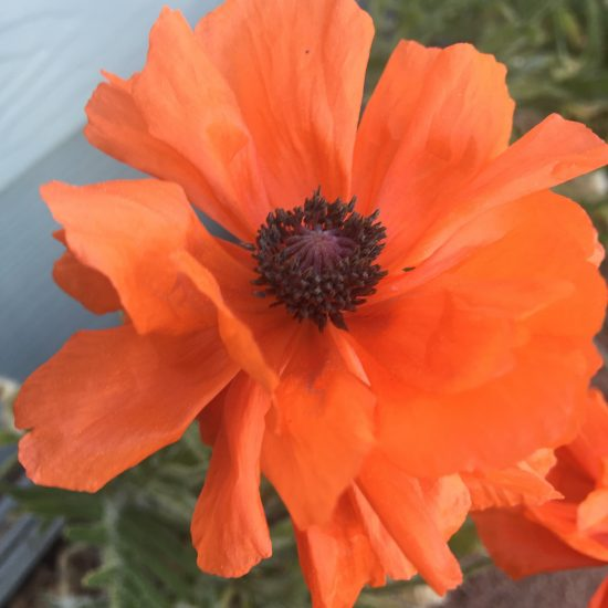 orange papery flower