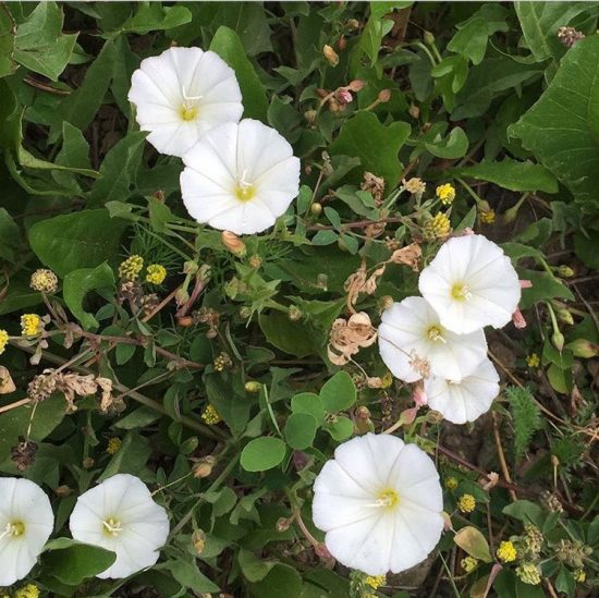 white flower on a low vine