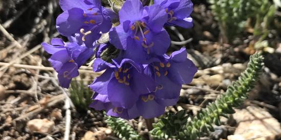 Purple Trumpet Cluster of Flowers
