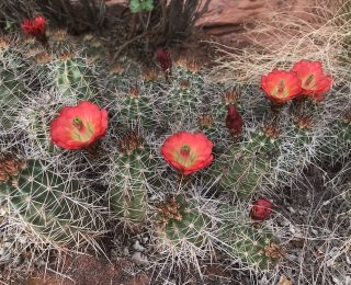 red cup shaped cactus