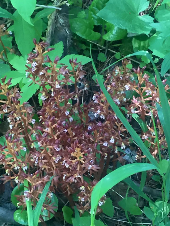 Saprophyte Flower