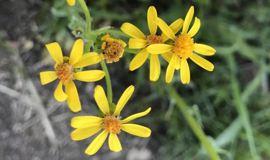 Small Yellow Spaced Petals
