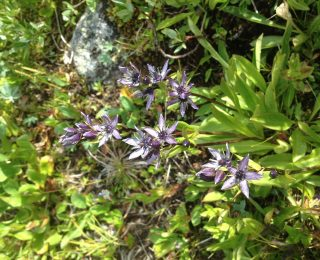 Star shaped blue wildflower