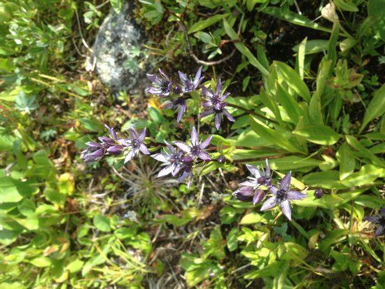 Star shaped blue wildflower