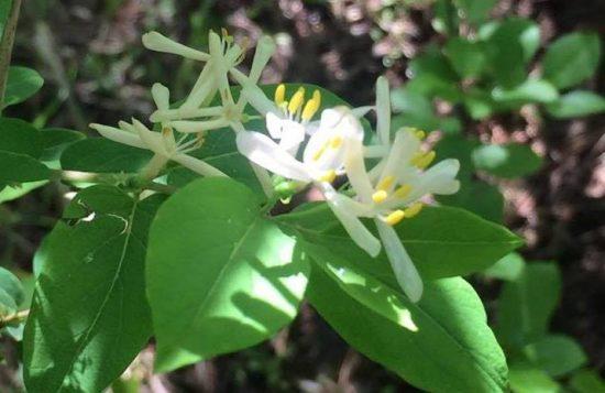 Thin petal white flower shrub
