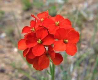Red Western Wallflower