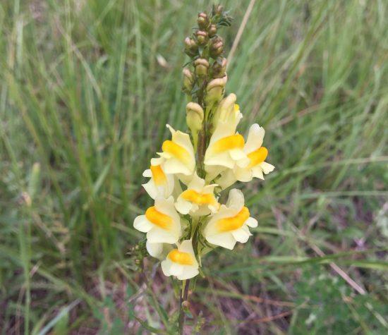 White and yellow wildflower