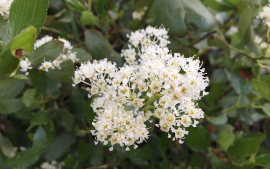 White cluster flower on a bush