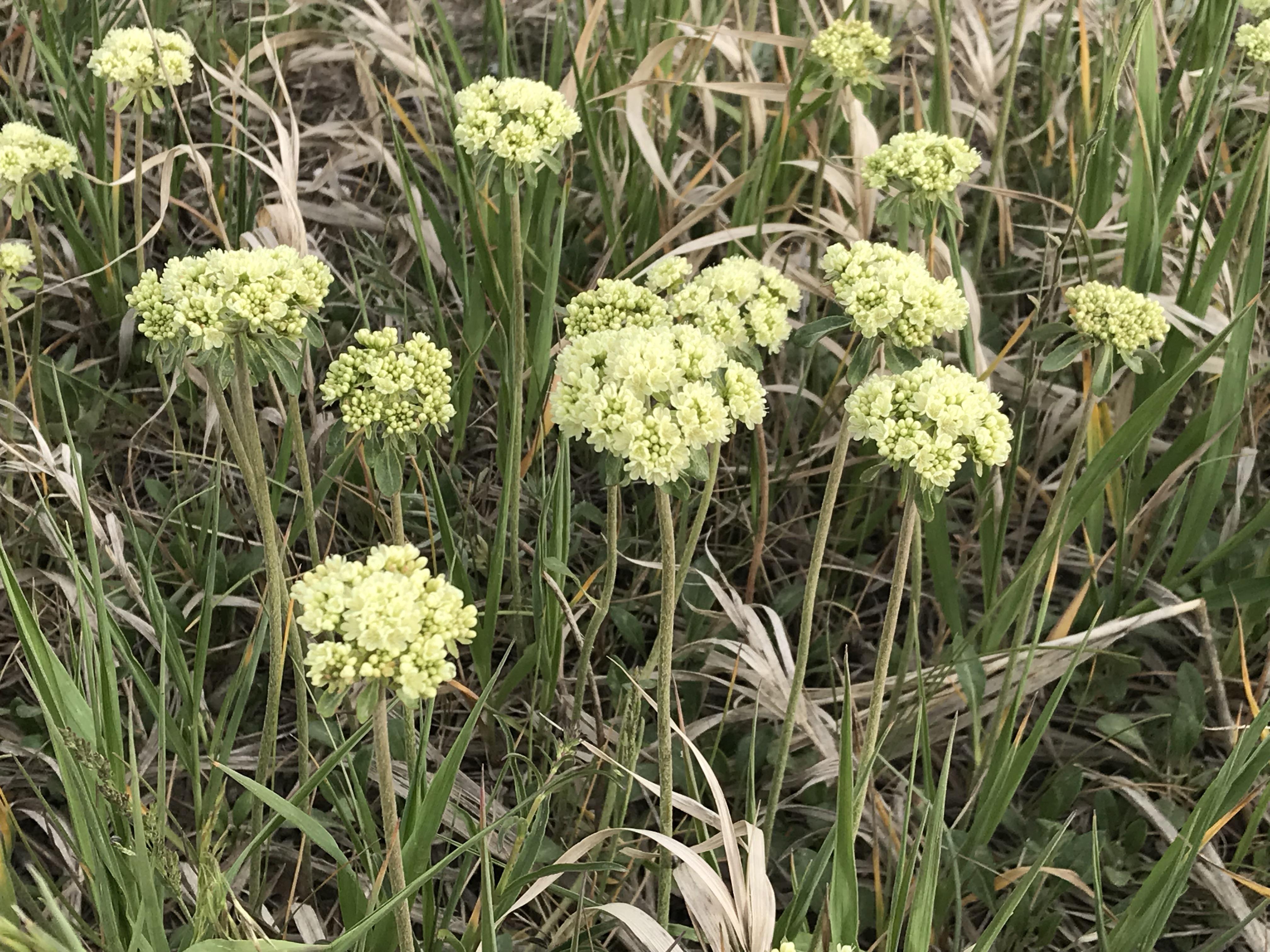 Umbrella Desert Buckwheat Flowers Eriogonum Ovalifolium Colorado