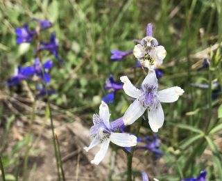 White Larkspur