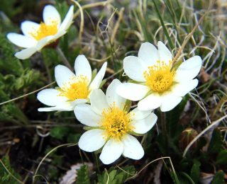White Mountain Avens