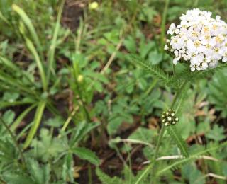 tiny white flowers on umbel