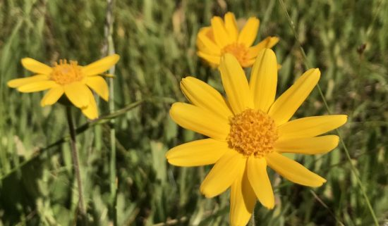 Yellow aster flower in the desert