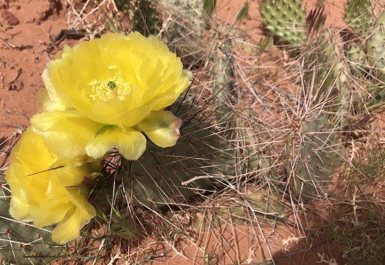 Yellow cactus desert