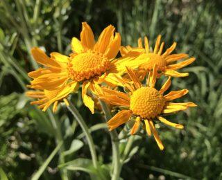 yellow orange thin ray flower