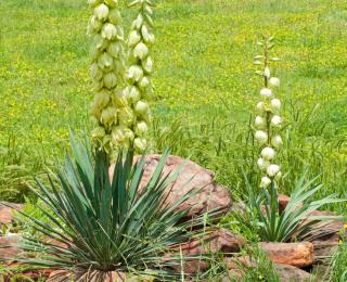 Broadleaf Yucca